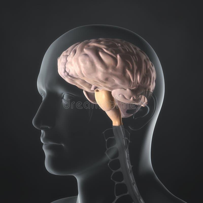 Мозг иллюстрация вектора