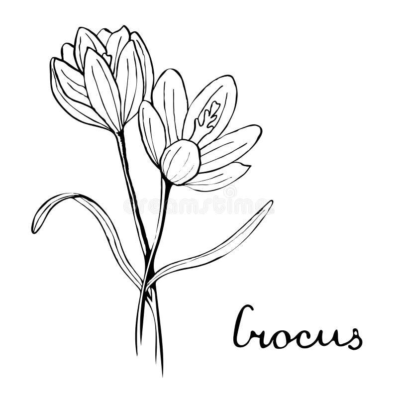 Иллюстрация ботаники цветка крокуса иллюстрация вектора