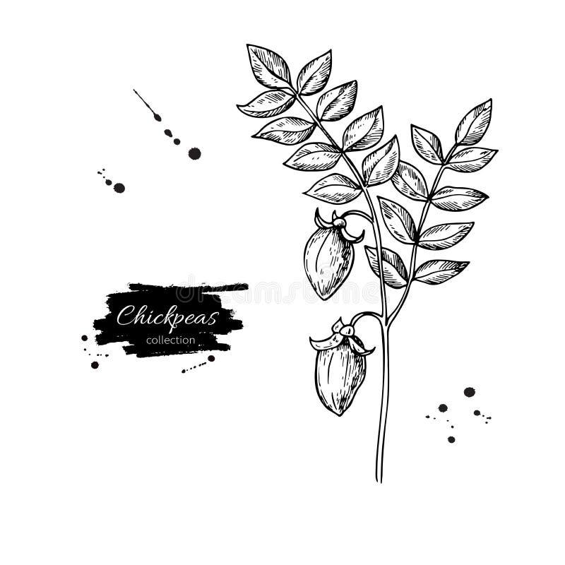Иллюстрация вектора завода нутов нарисованная рукой Изолированный овощ выгравировал объект стиля иллюстрация вектора