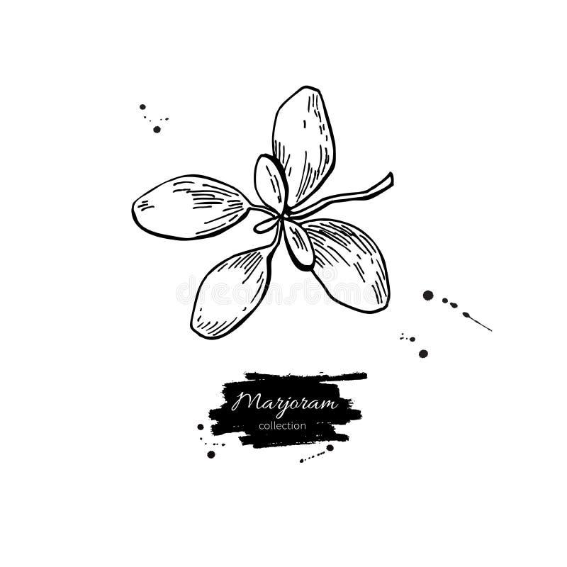 Иллюстрация вектора майорана нарисованная рукой Изолированный объект специи бесплатная иллюстрация