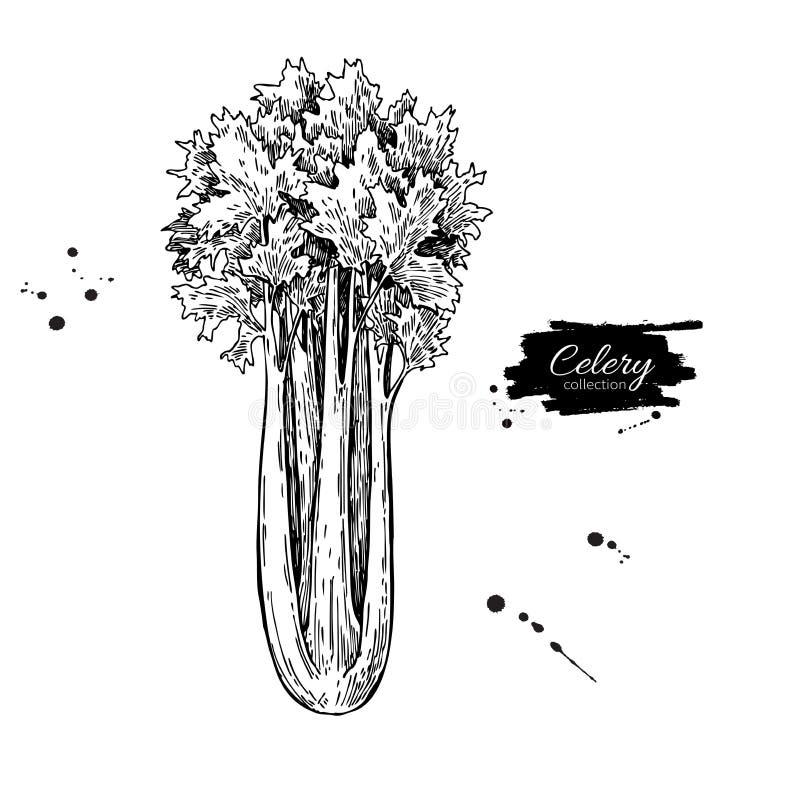 Иллюстрация вектора сельдерея нарисованная рукой Изолированный овощ выгравировал объект стиля Детальная вегетарианская еда иллюстрация штока