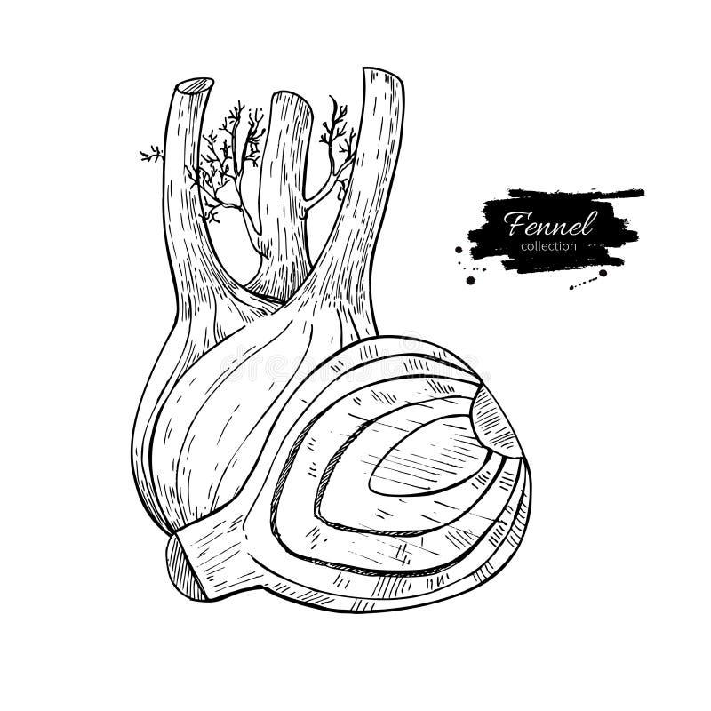 Иллюстрация вектора фенхеля нарисованная рукой Изолированный овощ выгравировал объект стиля с отрезанными частями иллюстрация штока