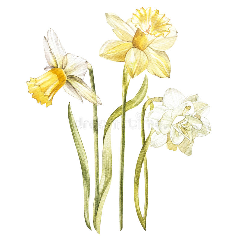 Иллюстрация в акварели Narcissus цветет цветение Флористическая карточка с цветками Ботаническая иллюстрация бесплатная иллюстрация