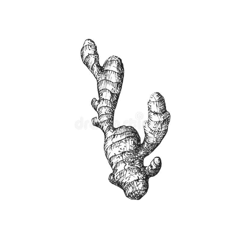 Иллюстрация одиночный имбирь на белой предпосылке, черно-белой иллюстрация штока