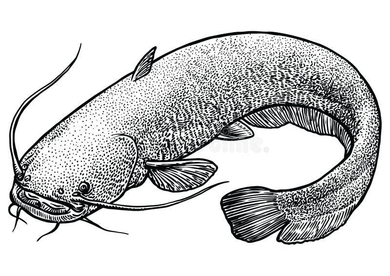 рыба сом картинки карандашом двух