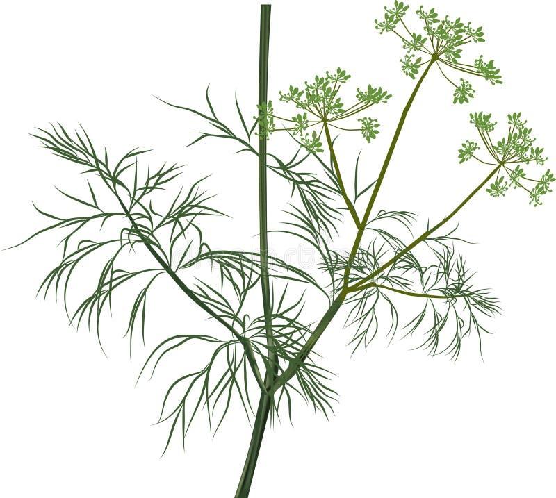 Иллюстрация с зеленым укропом на белизне иллюстрация штока