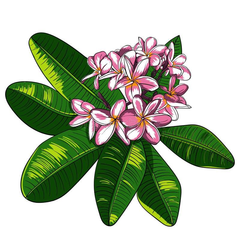Иллюстрация с цветками и Frangipani plumeria иллюстрация штока