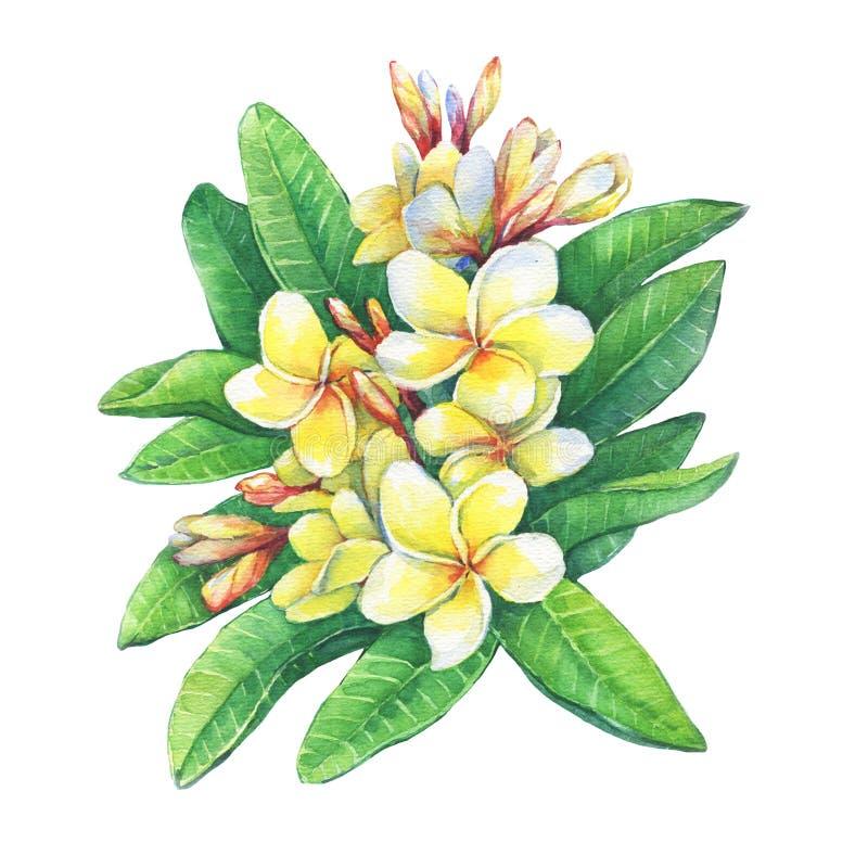 Иллюстрация тропического курорта цветет plumeria frangipani бесплатная иллюстрация