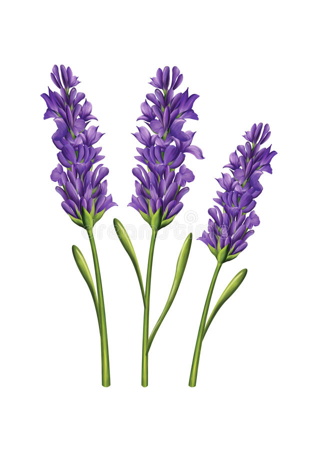 Иллюстрация цветка лаванды стоковые фото