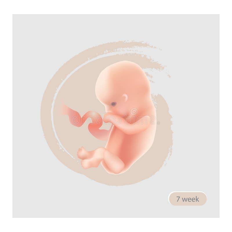 Иллюстрация этапа плода Фетальный значок Зародыш 7 недель Pregna иллюстрация вектора
