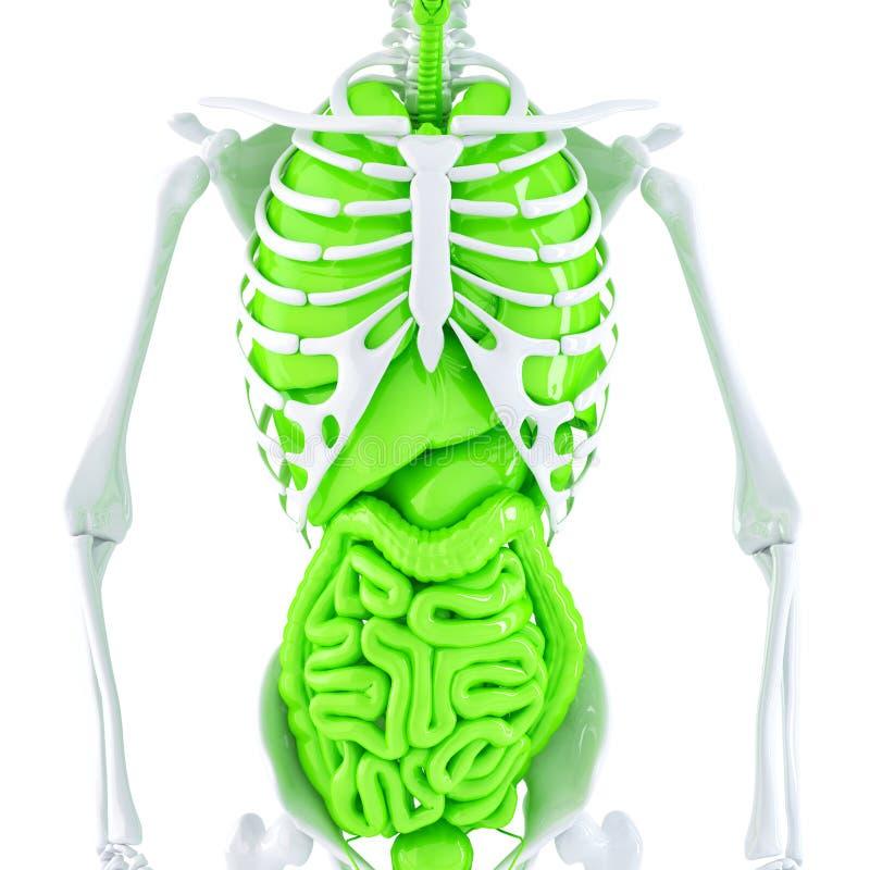 иллюстрация 3d человеческого скелета и внутренних органов изолировано Содержит путь клиппирования иллюстрация вектора
