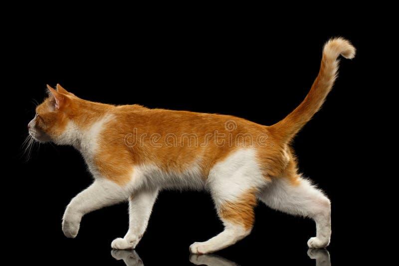 Идя кот имбиря в взгляде профиля на черном зеркале стоковые изображения