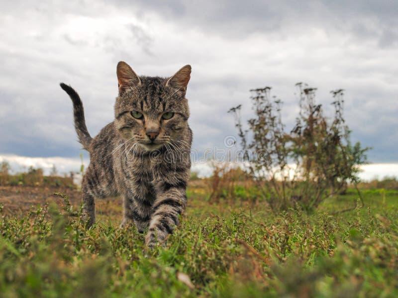 Идя кот на траве стоковая фотография rf