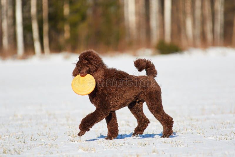 Идя пудель в зиме стоковое фото rf