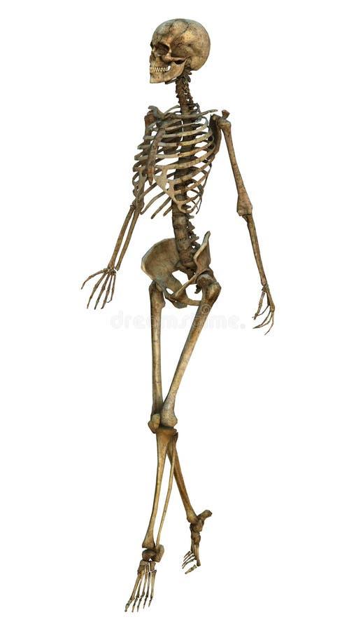 Идя скелет иллюстрация вектора