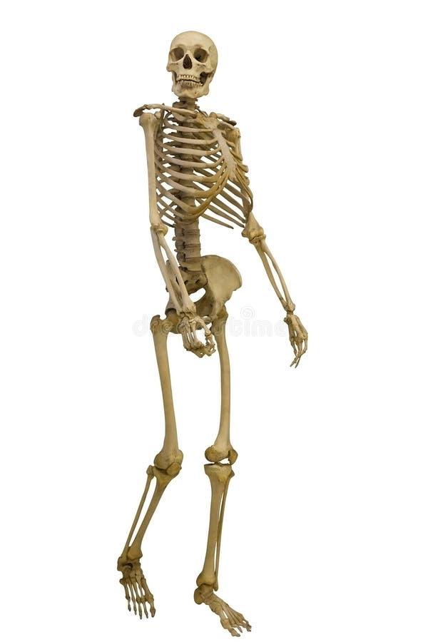 Идя человеческий скелет на белизне стоковое изображение