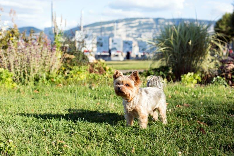 Йоркширский терьер играя в парке на траве стоковая фотография rf
