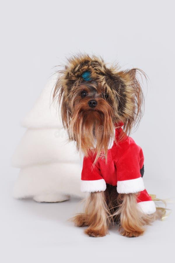 Йоркширский терьер собаки одетый как Санта Клаус сидит стоковые изображения