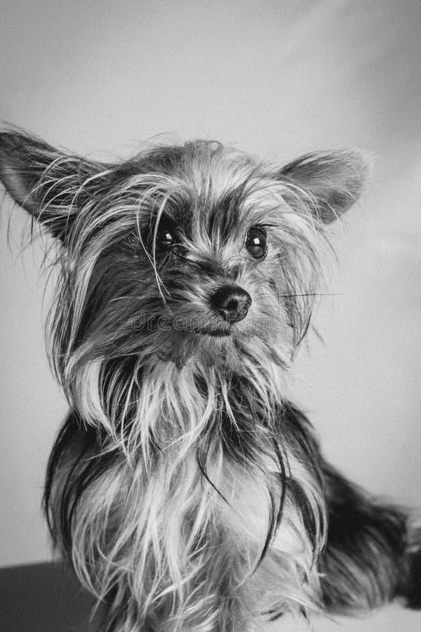 Йоркшир в черно-белом стоковые фотографии rf