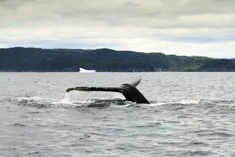 Кабель горбатого кита стоковая фотография rf