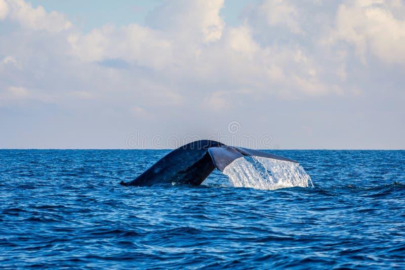 Кабель синего кита стоковая фотография