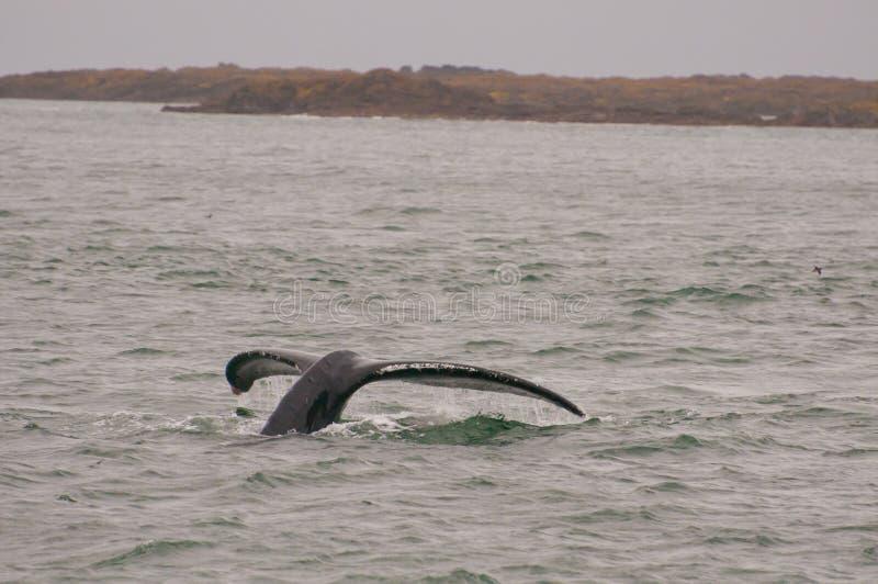 кабель humpback двуустки стоковая фотография rf
