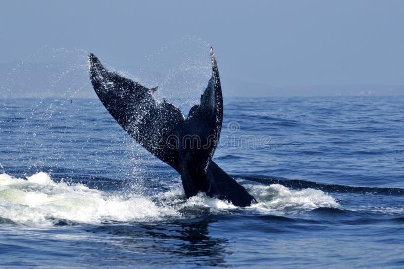 кабель humpback стоковая фотография