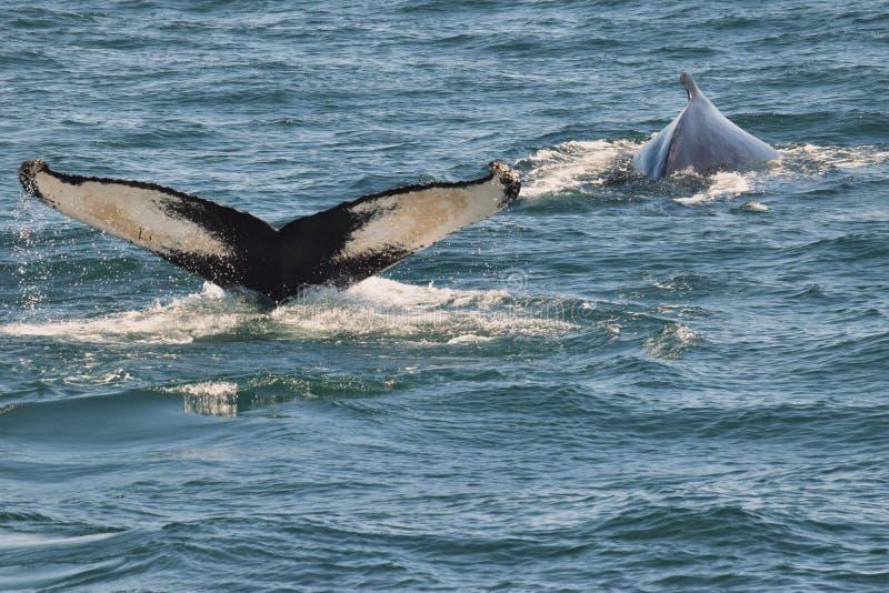 Кабель горбатого кита (двуустка) стоковая фотография rf