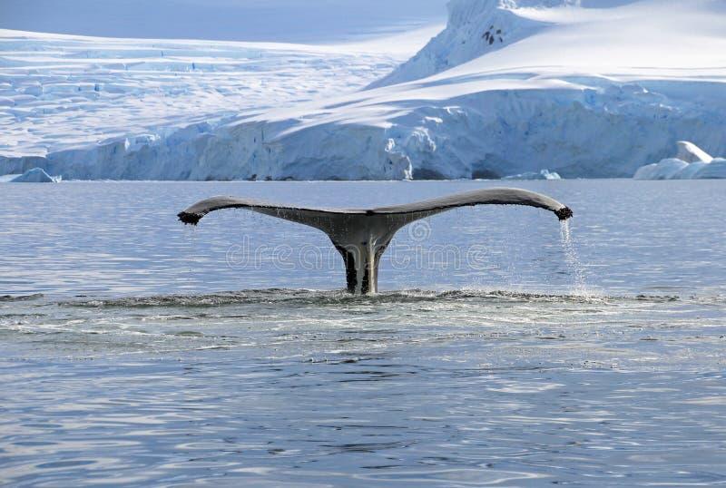 Кабель горбатого кита стоковые фото