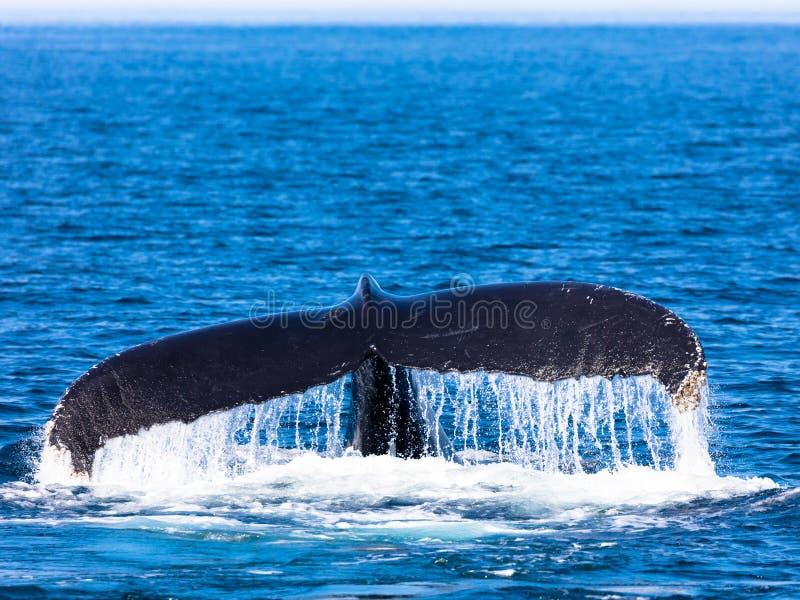 Кабель кита, трески накидки стоковое изображение rf