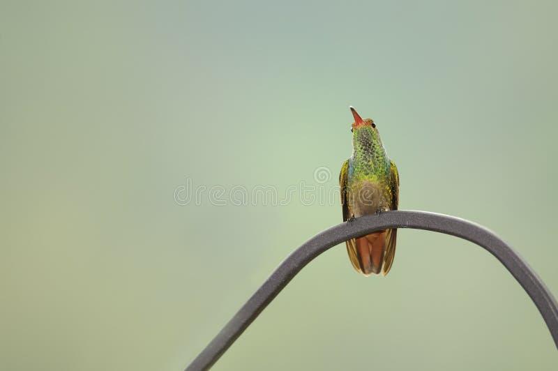 Download Кабель колибри Rufous стоковое фото. изображение насчитывающей подавать - 40589192