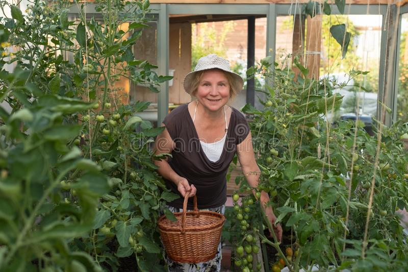 Кавказская зрелая женщина с корзиной проверяя ее зеленые томаты стоковое изображение