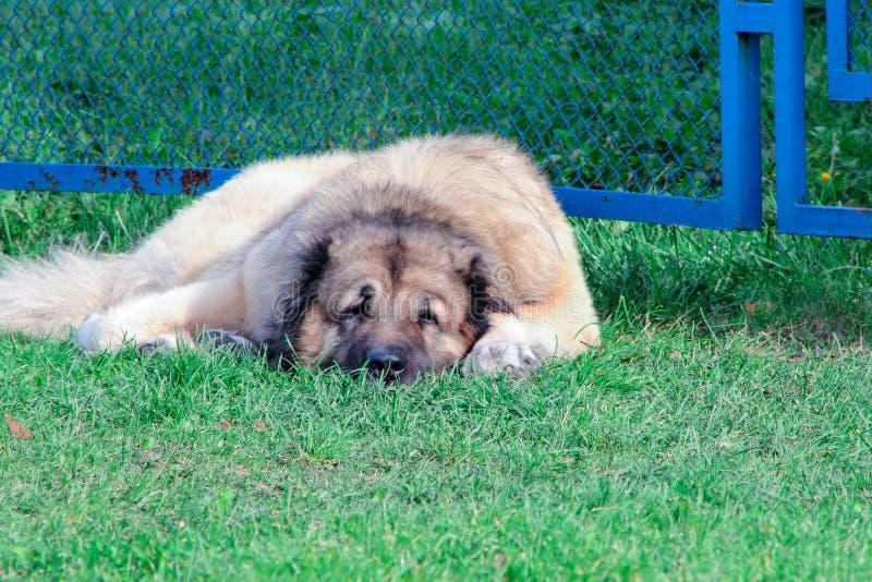 Кавказская собака чабана лежа на зеленой траве стоковая фотография rf