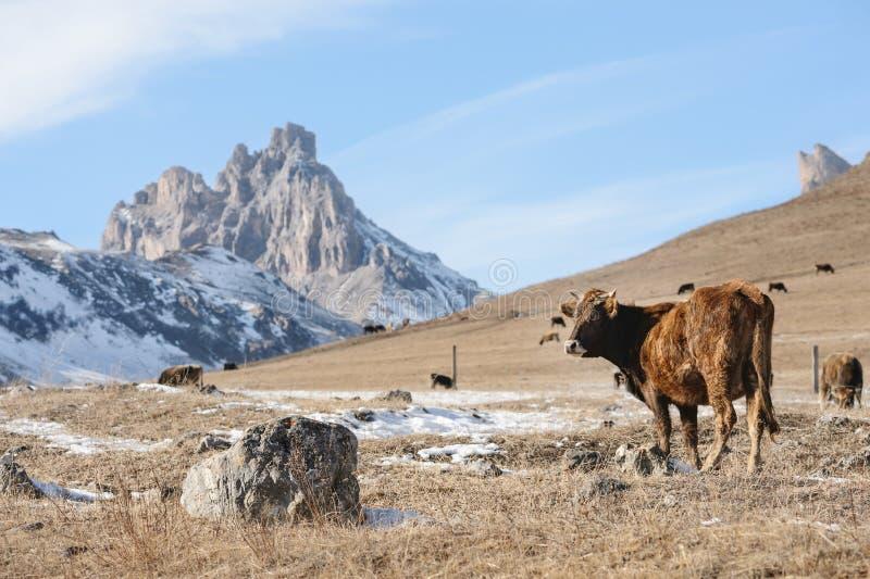 Кавказские быки и коровы на горе pastures в тракте около Mount Elbrus на предпосылке красивых утесов стоковые изображения