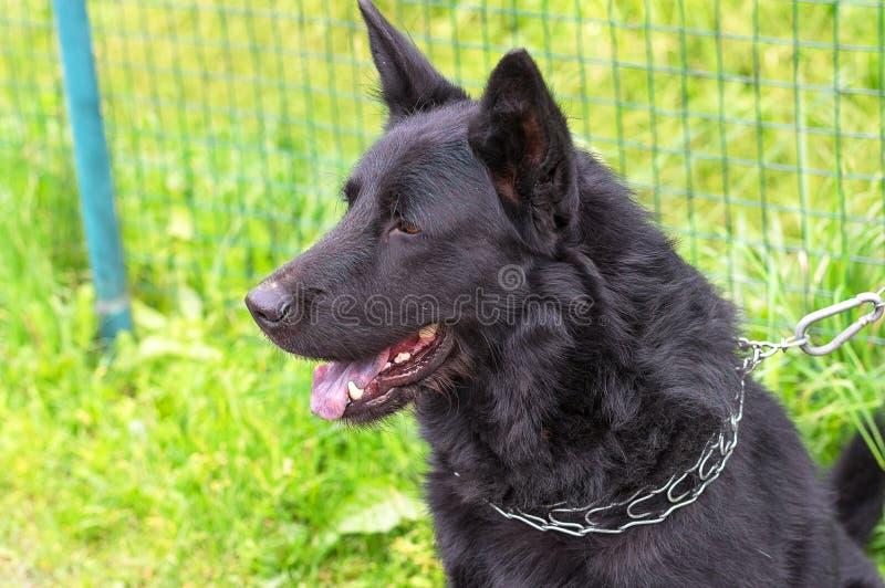 кавказский чабан собаки стоковые изображения rf