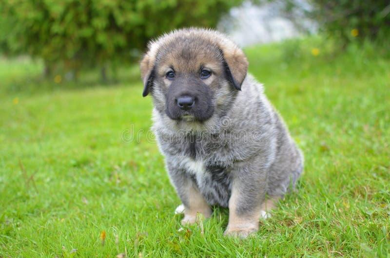 Кавказский щенок собаки чабана сидя на траве стоковое изображение