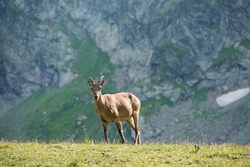 кавказское tur западное стоковое фото
