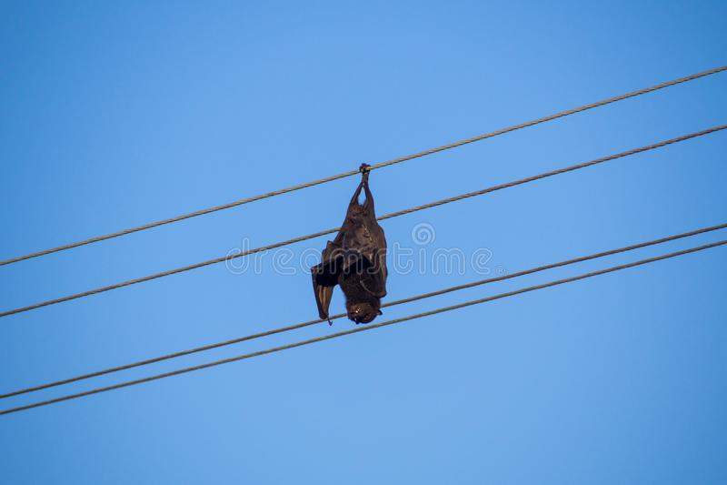 Казненная на электрическом стуле смертная казнь через повешение летучей мыши плодоовощ от электрического кабеля электропитания стоковое изображение rf