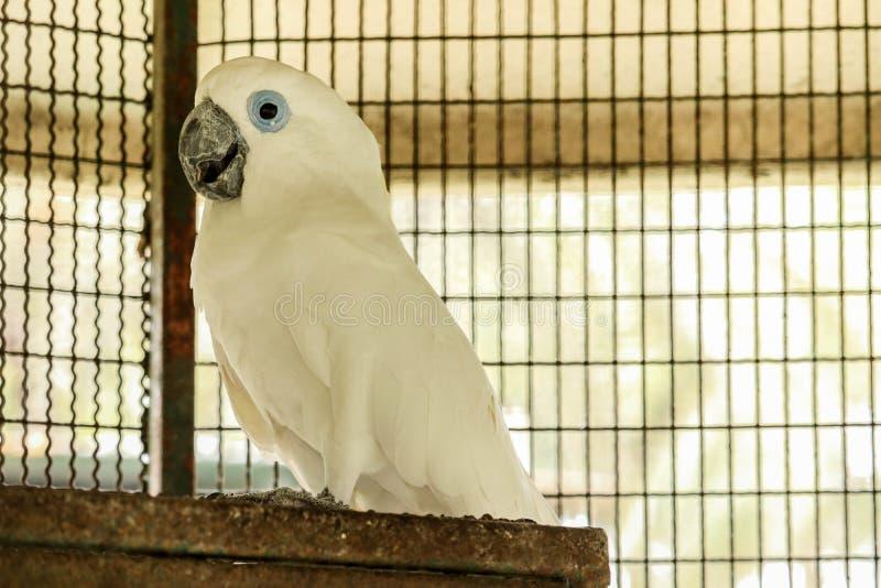 Какаду голубых глазов стоковое фото rf