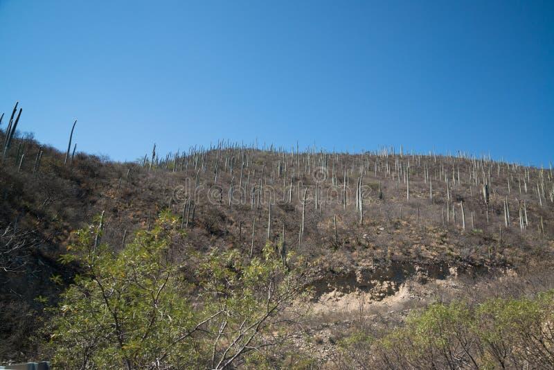 Кактусы в Мексике, Оахака стоковое фото