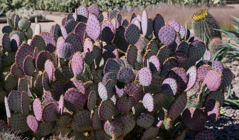 Кактусы в саде пустыни ботаническом стоковая фотография rf