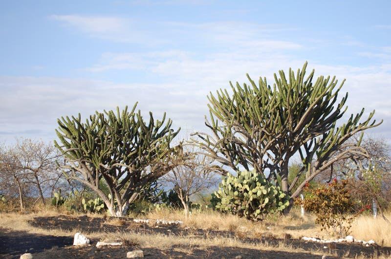 кактусы гигантские стоковые изображения