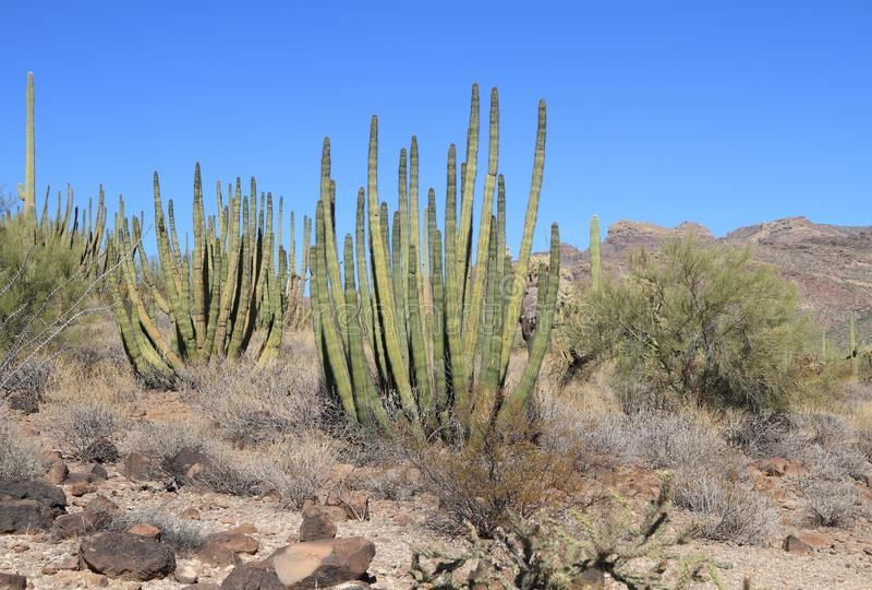 Кактусы трубы органа в глуши пустыни Sonoran южной Аризоны стоковые фото