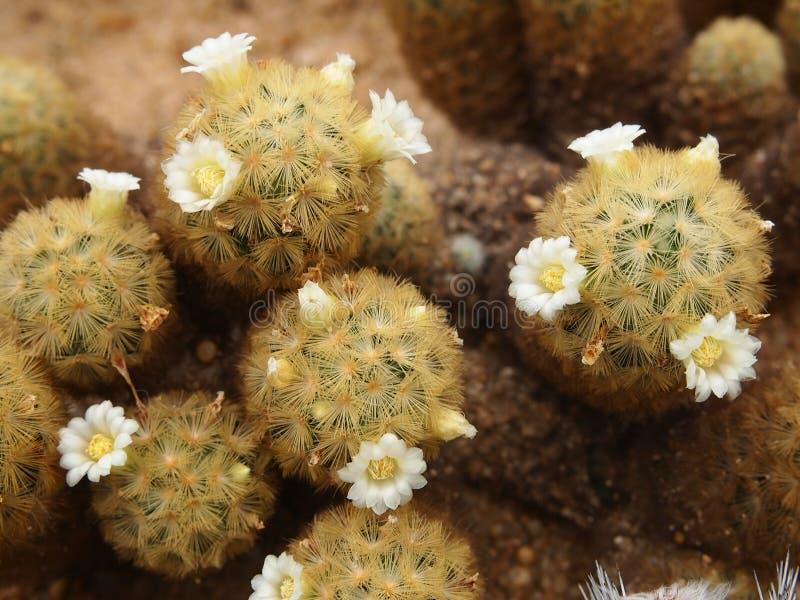 кактусы цветения стоковые фотографии rf