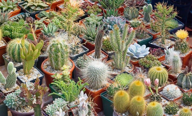 кактусы стоковое изображение