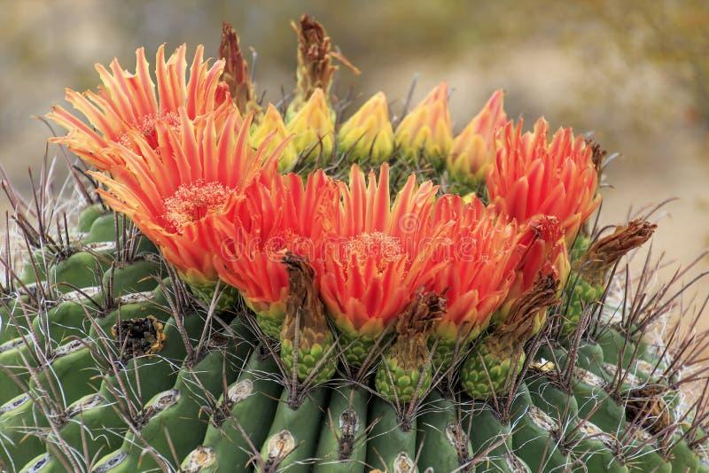 Кактус бочонка в цветени стоковое фото rf