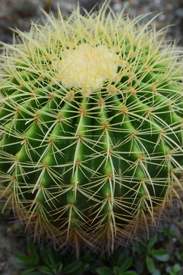 кактус бочонка золотистый стоковое изображение rf