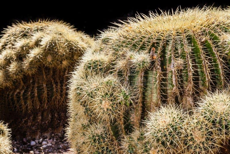 Download кактус бочонка золотистый стоковое фото. изображение насчитывающей садовничать - 40588502