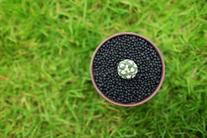 Кактус в баке на зеленой земле сада стоковое изображение rf