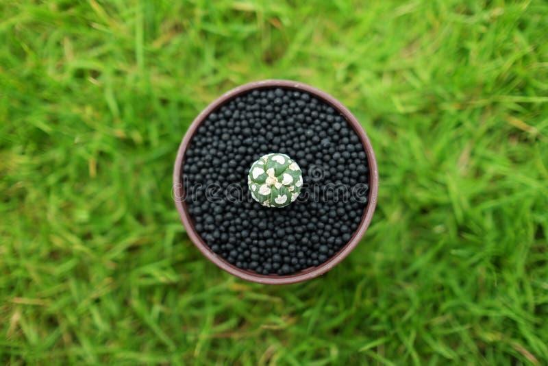 Кактус в баке на зеленой земле сада стоковое фото
